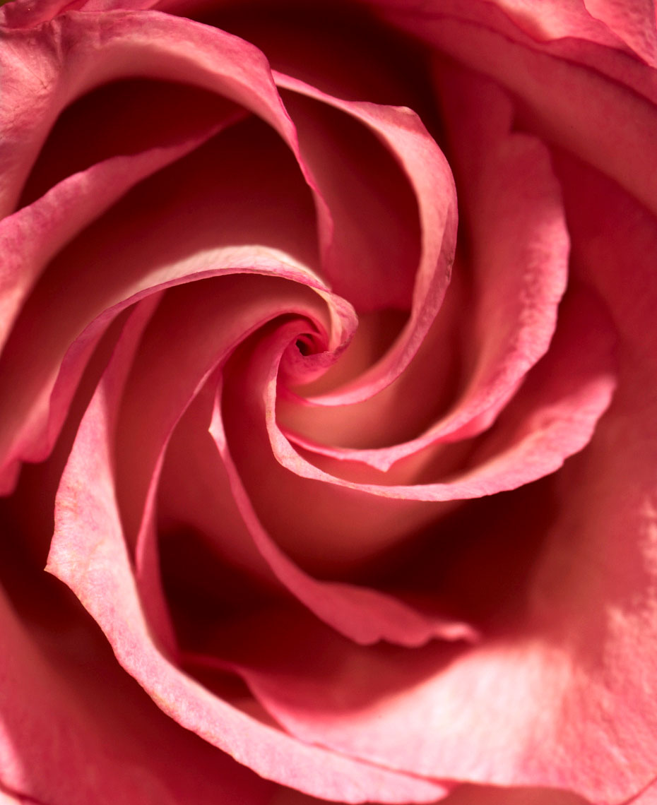 Botanical Still Life | Red Rose Close Up