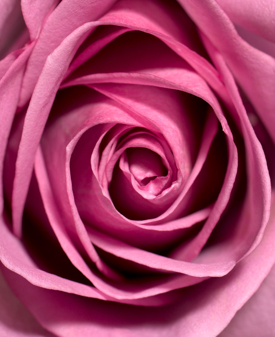 Botanical Still Life | Pink Rose Close Up