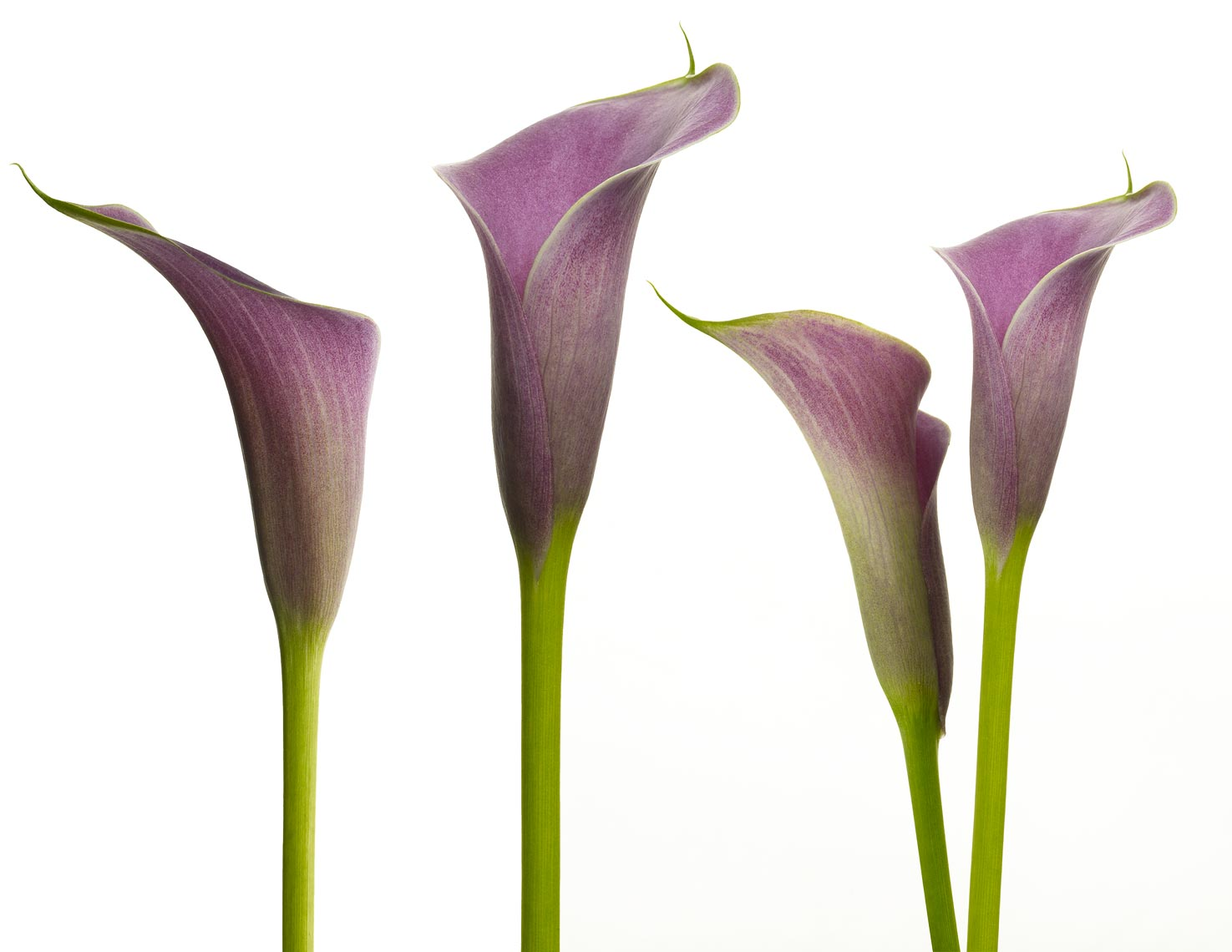 Botanical Still Life | Purple Calla Lily