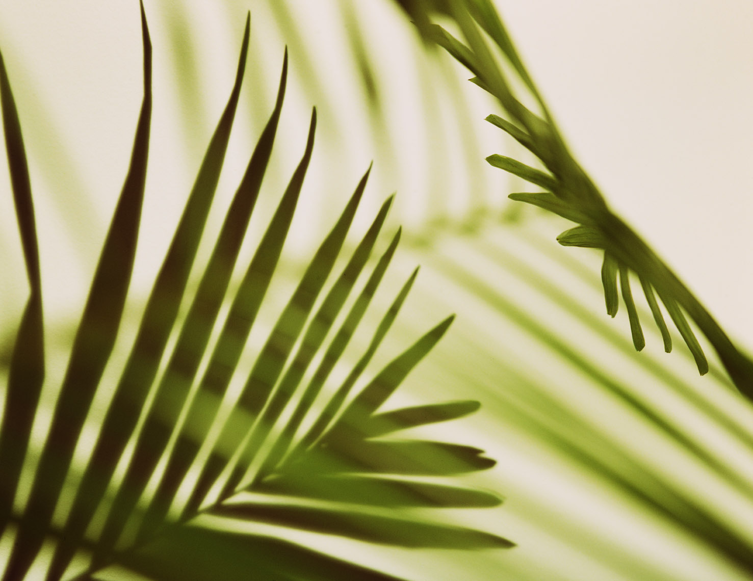 Botanical Still Life | Palm Fronds
