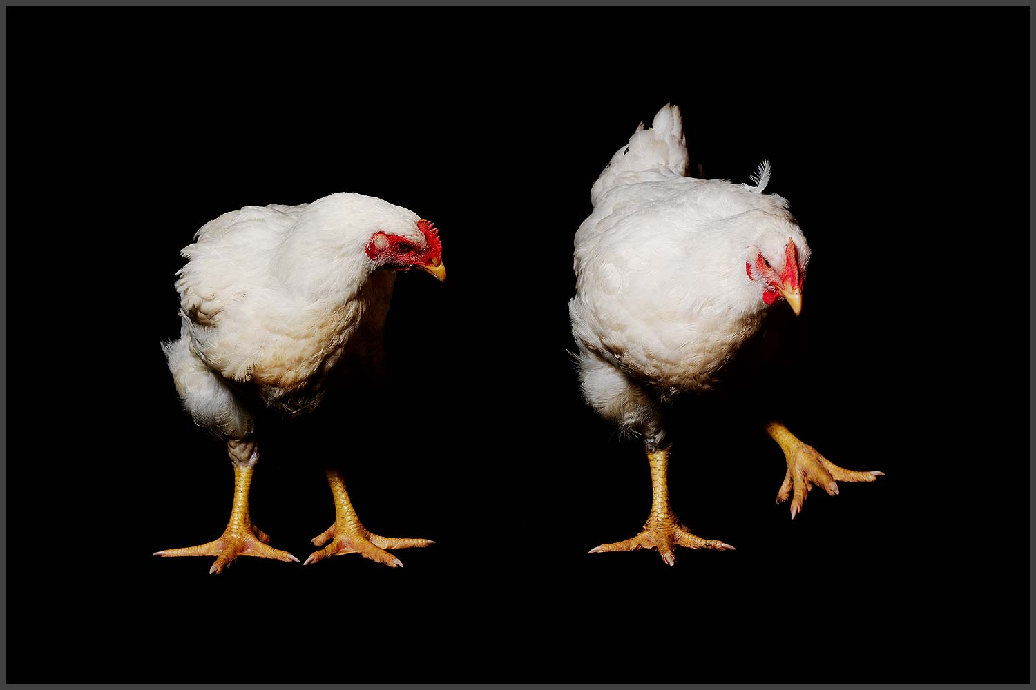 Farm Animal Portrait, Rescued Chicken Mister Monday And King Louis