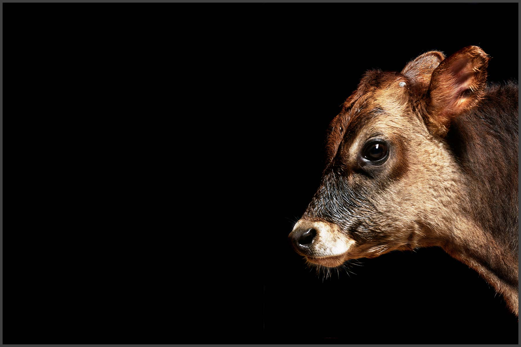 Farm Animal Portrait, Kirby A Rescued Calf