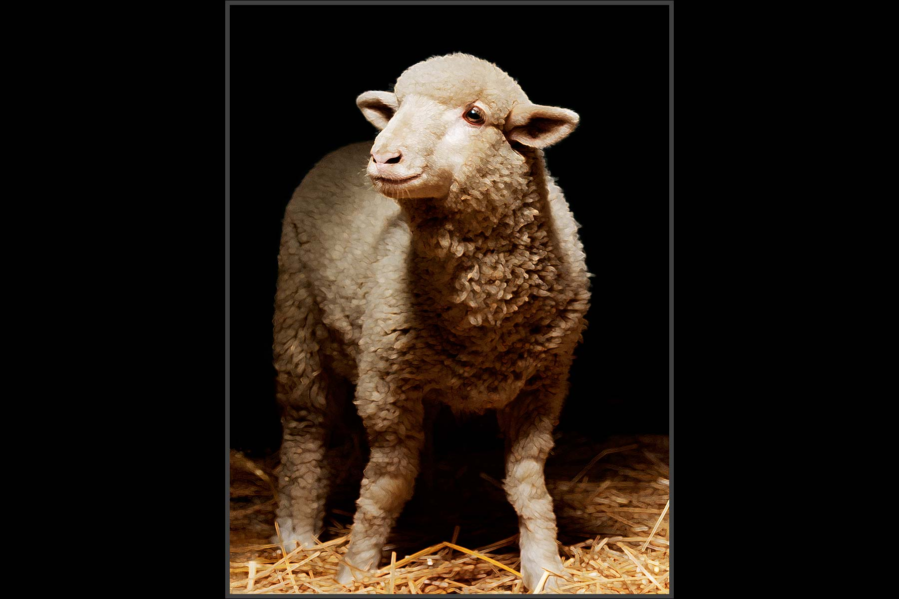 Farm Animal Portrait, Mekka | A Rescued Lamb