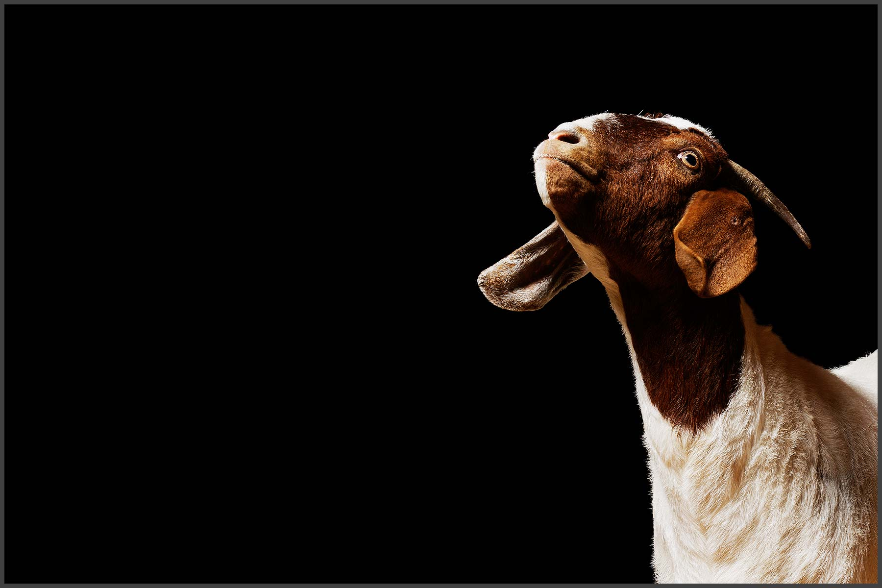 Farm Animal Portrait, Ellie Mae A Rescued Goat