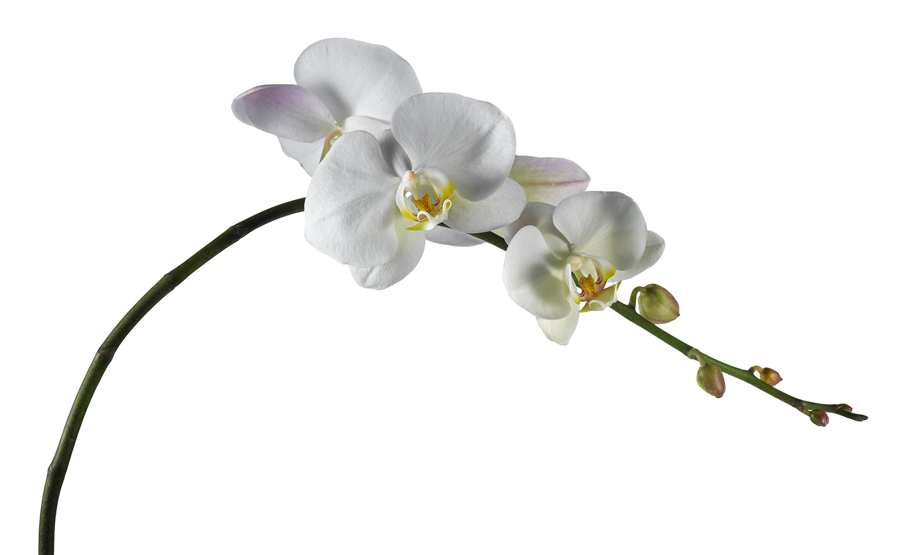 Botanical Still Life | White Phalaenopsis Orchid Flower Stem