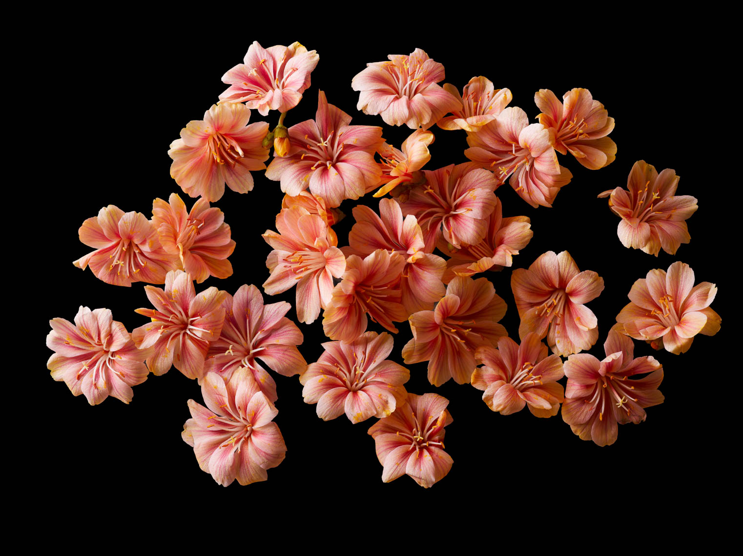 Lewisia Flower Heads | Botanical Still Life